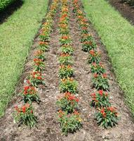 Rows of chili pepper plants
