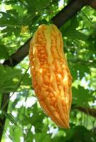 Orange bitter gourd