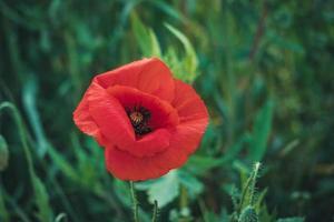 Flor de amapola roja en un campo de hierba alta foto