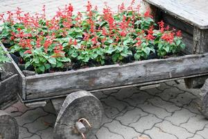 Red flowers in a wagon photo