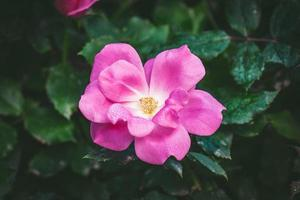 pequeña rosa cubierta por gotas de rocío foto