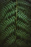 Green complex leaf of fern photo