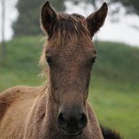 retrato de caballo marrón en el prado foto