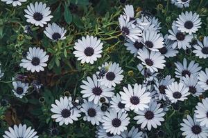 flores blancas de margarita africana foto