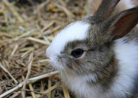 Brown and white rabbit photo