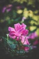 rosa rosa cultivada foto