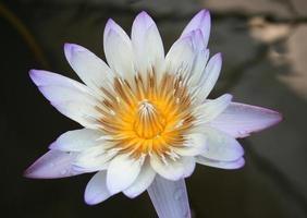 Purple and yellow lotus flower close-up