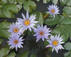 Purple lotus flowers top view