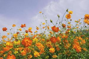 Yellow and orange flowers with blue sky photo
