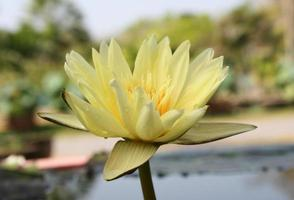 Close-up of a yellow lotus flower