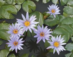 Top view of lotus flowers in a pond