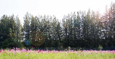 Cosmos field with pine trees photo