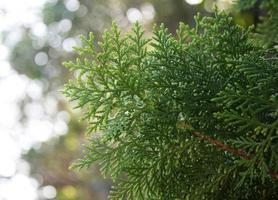 Pine leaves and sunlight photo