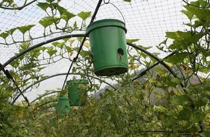 macetas y plantas de tomate foto