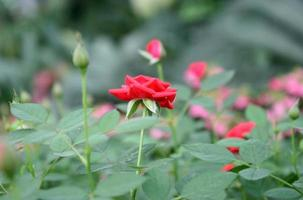 flores rosas en un jardín