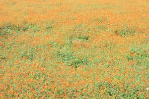 Marigold flower field photo