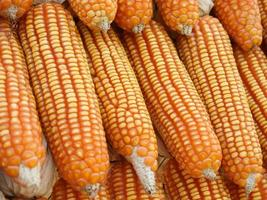 Piles of sweet corn