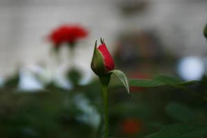 jardín de rosas rojas