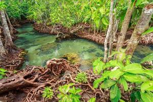 Mangrove trees in a peat swamp forest at Tha Pom Canal area, Krabi Province, Thailand. sRGB color profile photo