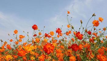 Field of orange flowers and blue sky photo