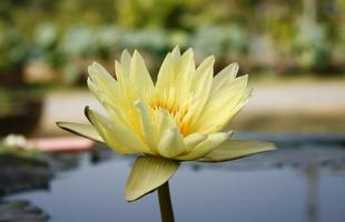 Yellow lotus flower in a pond