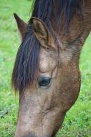 hermoso caballo marrón foto