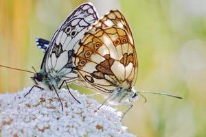 hermosas mariposas en una flor foto