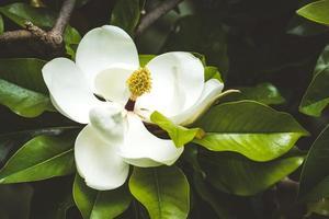 flor de magnolia blanca entre el follaje verde foto