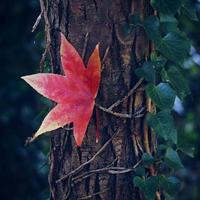 Red maple leaf in autumn photo