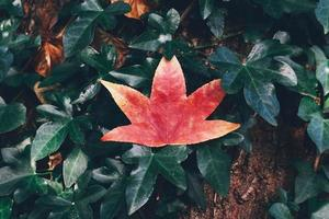 Red maple leaf in nature photo
