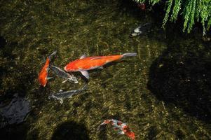 coloridos peces koi en la piscina foto
