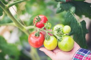 Fresh tomatoes in the garden