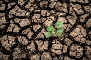 árboles cultivados en suelo seco, agrietado foto