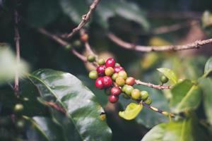 granos de cafe en cafe plantation foto