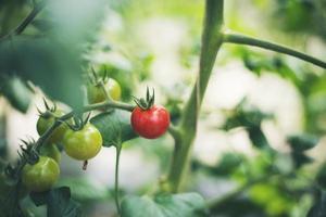 tomates frescos en el jardín foto