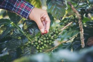 Woman harvesting coffee beans photo