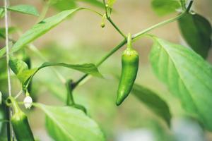 Green chili in the garden