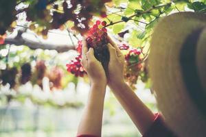 Mujer joven cosechando uvas en viñedo durante la temporada de cosecha