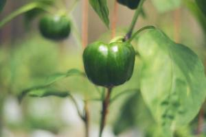 Green chili tree