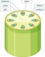 diagrama que muestra el sistema de tejido vascular en plantas vector