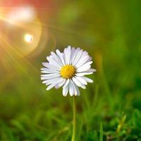Beautiful white daisy flower in nature photo