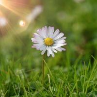 hermosa flor de margarita blanca en la naturaleza foto