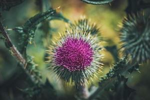 flor morada de una planta de cardo común foto