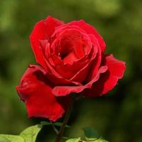 Beautiful rose flower for Valentine's Day