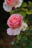 hermosa flor rosa para el día de san valentín