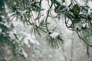 Snow on the pine leaves in winter season photo