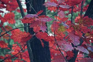 árbol de otoño con hojas rojas foto