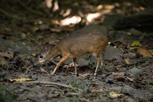 Mouse deer in a forest photo