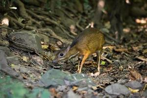 Mouse deer looking for food photo