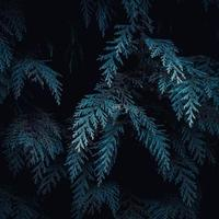 Green pine tree leaves on black background photo
